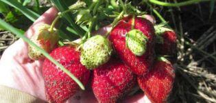 Descripción y características de las fresas Bereginya, plantación y cuidado.