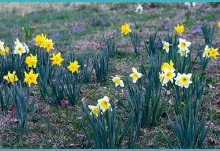 Mikor kell átültetni a nárciszokat egy másik helyre, tavasszal vagy ősszel