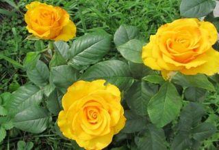 Descripción y características de la variedad, cultivo y cuidado de la rosa Kerio
