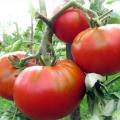 Caracteristicile și descrierea tomatei cărnoase de zmeură, a randamentului acesteia