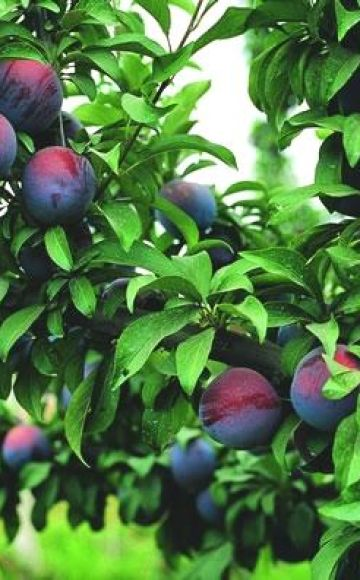 Descrierea soiului de prune Frumusețea manciuriană, soiurile de polenizare și cultivare