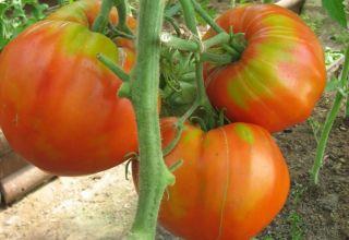 Características y descripción de la variedad de tomate Carnoso azucarado