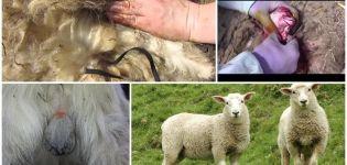 Caractéristiques de la castration des béliers et des 5 meilleurs moyens à la maison