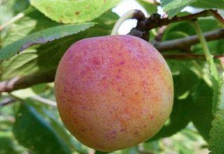 Descrierea și caracteristicile soiurilor de prune Dimineața, creșterea și îngrijirea