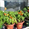 Instrucțiuni pas cu pas despre cum să cultivați roșiile pe balcon pentru începători
