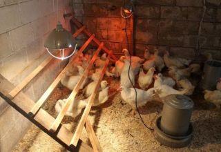 Útmutató az infravörös lámpák használatához a csirkehús melegítéséhez
