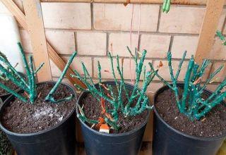 Cómo plantar y cultivar una rosa a partir de un esqueje en casa.