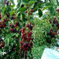 Cómo y qué alimentar a las moras en primavera, verano y otoño durante la floración y la fructificación.