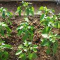 Čo kŕmiť paprikou po výsadbe v skleníku, aké hnojivá a kedy použiť