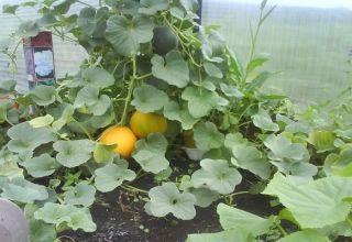 Vorming, aanplant, teelt en verzorging van meloenen in de kas