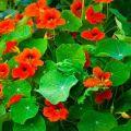 14 nasturtium faj és fajta leírása, ültetés és gondozás a szabadban