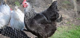 Descripción y características de la raza de pollos Kotlyarevskaya, reglas de mantenimiento.