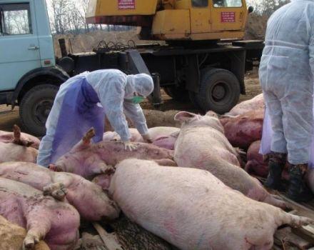 Causas y síntomas de la peste porcina africana, peligro para los seres humanos y cómo se transmite