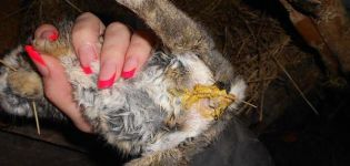 De belangrijkste oorzaken van diarree bij konijnen en hoe deze thuis te behandelen