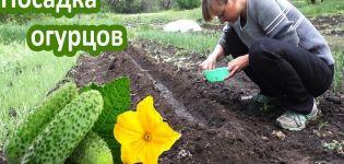 ¿Es posible plantar pepinos en Trinity y en qué fecha debe hacerse de acuerdo con el calendario nacional?