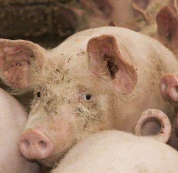 Descripción y síntomas de infección de cerdos con cisticercosis, métodos de tratamiento de finnosis.