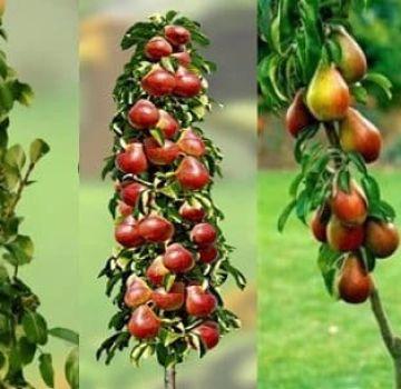 Descripción de las mejores variedades de pera columnar, plantación, cultivo y cuidado.