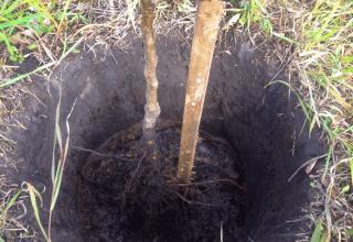 Ako správne pestovať a starať sa o marhule na Sibíri a opis odrôd odolných voči mrazu