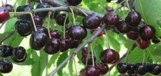Descripción de la variedad de cereza Lyubimitsa Astakhova, esquema de plantación y cuidado.
