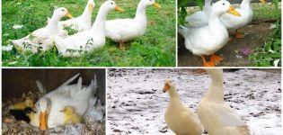 A pekingi kacsa leírása és jellemzői, súlyonkénti súly, és hogyan néz ki