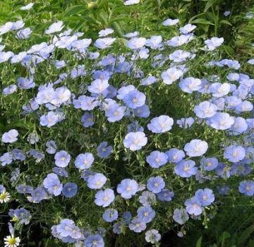 Sadnja i briga za višegodišnji lan na otvorenom polju, uzgoj iz sjemena