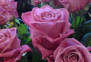 Características y descripción de la rosa Aqua, plantación, cultivo y cuidado.