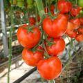 A nyílt talajra szánt paradicsom legjobb fajtái a Nyizsnyij Novgorod régióban
