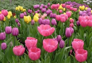 Kada je bolje posaditi tulipane na jesen u moskovskoj regiji