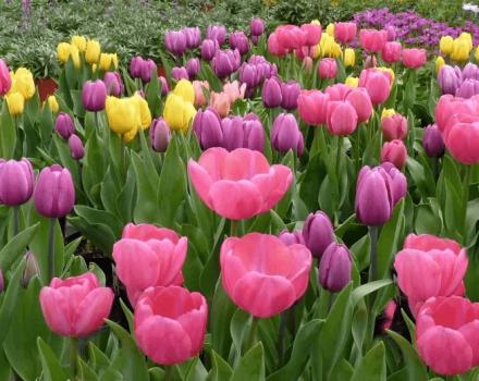 ¿Cuándo es mejor plantar tulipanes en otoño en la región de Moscú?