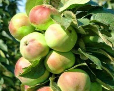 A Priokskoe almafa oszlopos változatának és annak termékenységének, előnyeinek és hátrányainak ismertetése