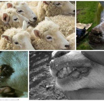 Simptomi zarazne ektime ovce i patogena virusa nego liječiti