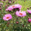 Opis odrôd, sadeníc a starostlivosti o rastliny v novej Anglicku