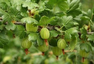 Cómo plantar una grosella espinosa estándar, cultivo, plantación y cuidado.