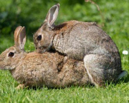 Edad de los conejos para el apareamiento y reglas de la casa para principiantes.