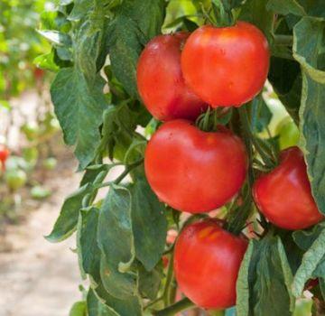 Caracteristicile soiului de roșii Fakel, randamentul său