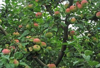 A Melba almafa leírása és jellemzői, a fa magassága és érési ideje, gondozás