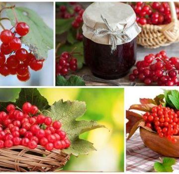 Propiedades medicinales y contraindicaciones del viburnum, beneficios y recetas populares.