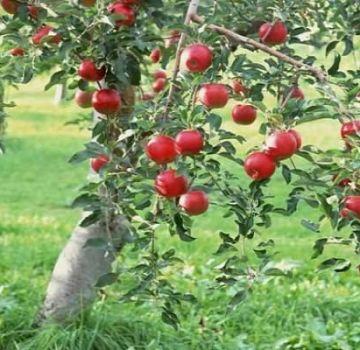 Optimaalisen maaperän valinta omenapuun istutusta varten: määritetään happamuus ja emäksisyys, millaista maaperää tarvitaan