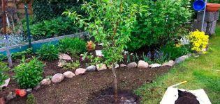 Cómo cultivar adecuadamente la nectarina, selección de variedades, plantación y cuidado, métodos de reproducción.