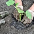 Cum să plantezi corect castraveți în pământ deschis cu semințe