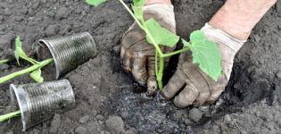 Cómo plantar correctamente pepinos en campo abierto con semillas.
