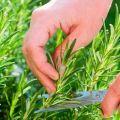 Plantar y cuidar el romero al aire libre
