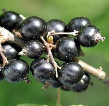 Descrierea celor mai bune soiuri de coacăz negru și regiuni de cultivare a acestora