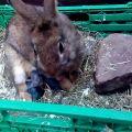 Características del nacimiento de un conejo en casa y posibles problemas.