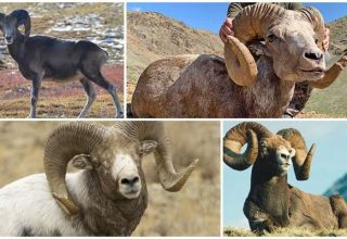 ¿De qué animales vinieron las ovejas, quiénes son los antepasados y dónde viven sus antepasados?