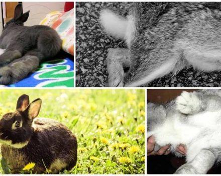 Razones por las que fallaron las patas traseras del conejo y métodos de tratamiento y prevención