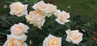 Descripción de las variedades híbridas de rosas de té Versilia, tecnología de cultivo.