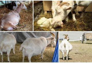 Ako a na koľko je správne spustiť kozu pred porazením, životnými hackami a problémami