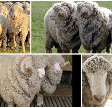 Opis i karakteristike ovaca stavropolske pasmine, prehrana i uzgoj