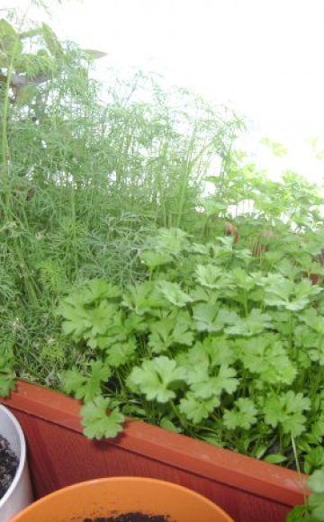 Cum să crești și să îngrijești pătrunjelul din semințe pe un pervaz iarna